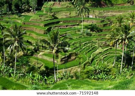 Paddy field at Bali