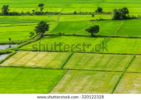 paddy field ,bird eye view