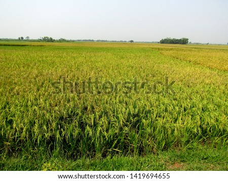 Paddy field,cultivation in summer time, huge area paddy field  #1419694655