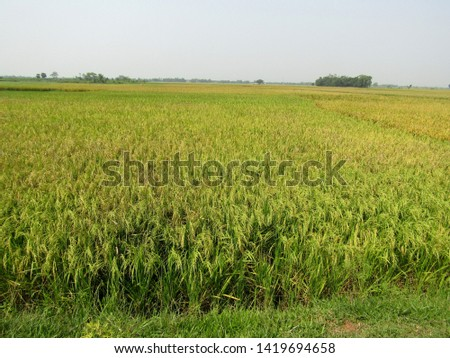 Paddy field,cultivation in summer time, huge area paddy field  #1419694658