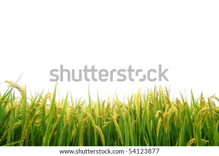 Paddy field in autumn
