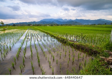 paddy field in indonesia #648440647