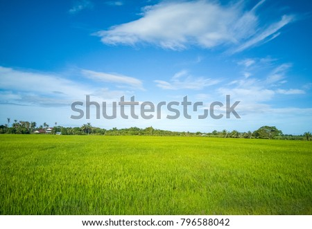 paddy field in Malaysia penang balik pulau #796588042