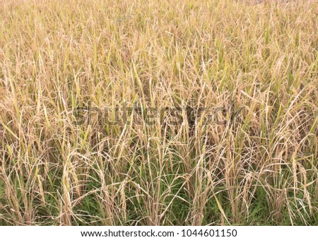 Paddy field model of Chiang Mai University Thai students ready to be harvested is a good variety of seeds with beautiful fragrant, delicious, nutritious, nutritious, high nutritional color. #1044601150