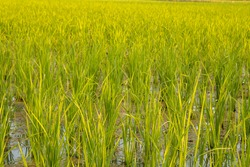 Paddy field on first sowing stage