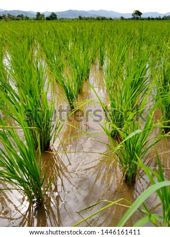 Paddy field or rice field