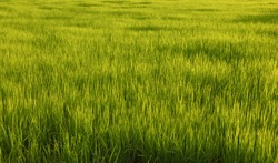 Paddy field. Paddy, Organic Agriculture, Ears Of Rice In The Field. Close up rice swaying by wind in rice paddy. grain in paddy field concept. close up of green rice field.