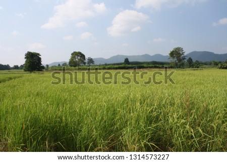 paddy field rice field