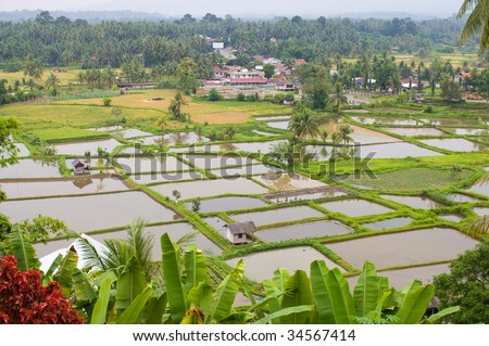Paddy field scenery in Padang, Indonesia