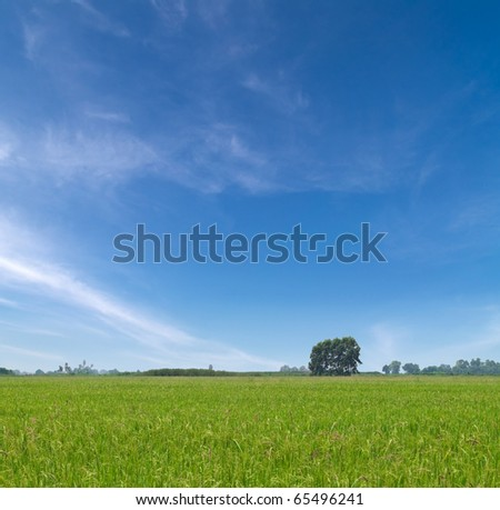 Paddy field with produce grains and beautiful sky