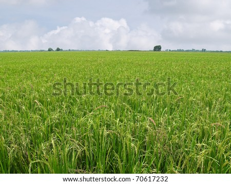 Paddy field with produce grains and sky