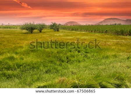 Paddy fields in India against evening sun background