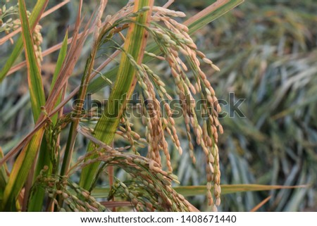 paddy fields with matured paddy grains in paddy field in Tamil Nadu, India #1408671440