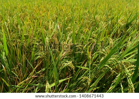 paddy fields with matured paddy grains in paddy field in Tamil Nadu, India #1408671443