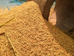 Paddy has been threshed by hand in the villages of Bangladesh. Golden paddy.
