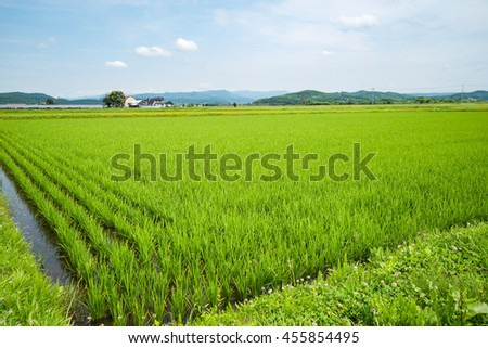 Paddy rice , asahikawa hokkaido japan - Shutterstock ID 455854495