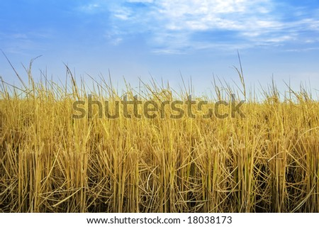 Paddy rice fields after harvesting
