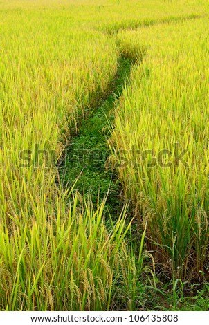 Paddy Rice Fields in Thailand