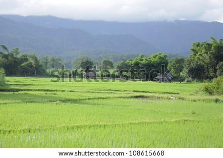 paddy rice green field mountain surrounded