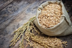 paddy rice in a bag with rice pile and the ear of paddy rice form the field of farmland on the wooden table background.