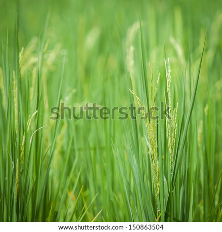 Paddy rice in green field