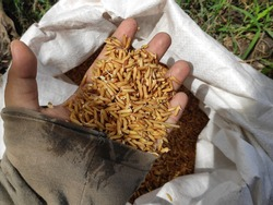 Paddy seeds to sow in the field
