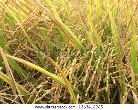 paddy sheets in paddy field #1363416965