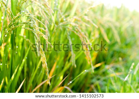 paddy with sunbright in paddy field #1415102573