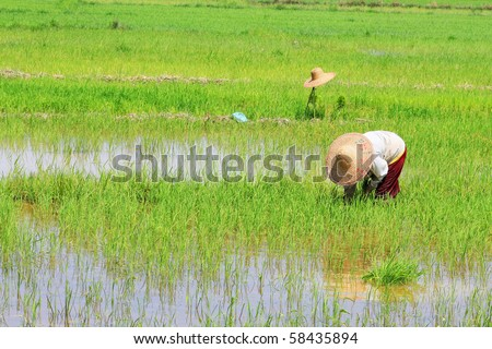 paddy work at asian country