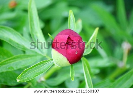 Paeonia Lactiflora Blossom Flower Detail Blooming Botany Portrait Stock Photo  #1311360107