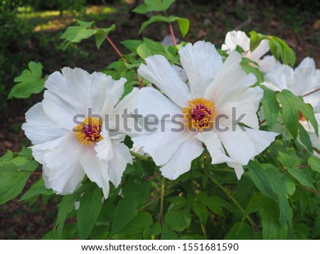 Paeonia ostii Feng Dan Bai, pure white flowers, close up. Paeonia x Suffruticosa gorgeous or Peony White Phoenix shrub with large beautiful white blossoms. Hardy plant in the peony family, Paeoniaceae #1551681590