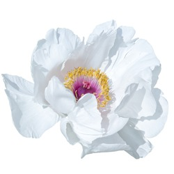Paeonia suffruticosa white color isolated on a white background. For a bouquet