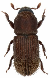 Pagiocerus frontalis is an insect belonging to the bark beetles (Scolytinae). Isolated on a white background
