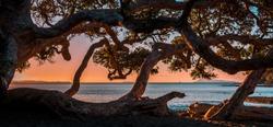 Pahutukawa tree and beach at sunset, Goat Island Marine Reserve, Northland, New Zealand