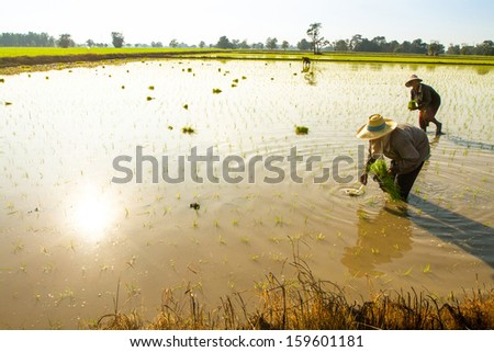 PAI NORTHERN THAILAND DECEMBER 29 Local people plant a rice in Pai Northern Thailand on December 29 2012 Thailand is the world's 2nd largest exporter of rice