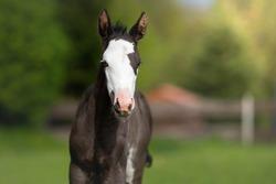 Paint horse foal white head