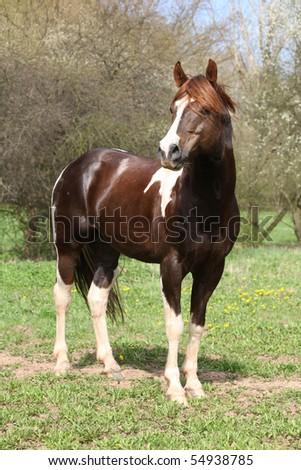 Paint horse stallion standing