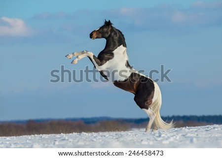 Paint horse stand up on winter background, Pinto horse.