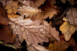 painted autumn fallen oak leaves with dewdrops