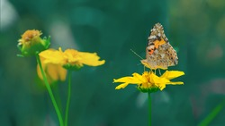 Painted lady butterfly on yellow cosmos flower on the meadow. Beautiful sunny day in nature. Color of the year 2021 - illuminating yellow.