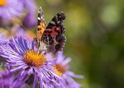 Painted Lady Butterfly (Vanessa cardui) feeding on an autumn purple aster