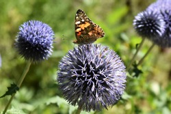 Painted Lady Butterfly, Vanessa Cardui, on Thistle Flower