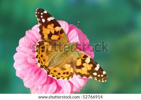 Painted lady butterfly (Vanessa cardui) on zinnia flower