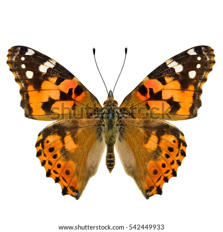 Painted Lady (Vanessa cardui) beautiful orange and brown butterfly lower wings in natural color isolated on white background, pascinated nature #542449933