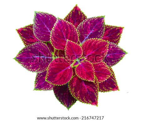 Painted nettle Flower, Coleus plants with colorful leaves, Coleus leaves Painted nettle, Flame nettle on White Background