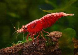 Painted Red Freshwater Cherry shrimp female Neocaridina davidi