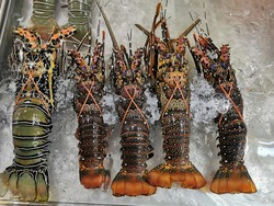 Painted spiny lobster in the seafood market. The painted spiny lobster or Panulirus versicolor or Blue spiny lobster. They are claw-less lobsters and are greatly favored as a delicacy.