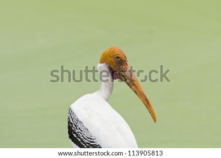 painted stork bird