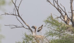 Painted Stork (Mycteria leucocephala) Juvenile bird nesting on tree.