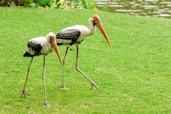 Painted Storks walk on the lawn. And has a unique pink plumagePainted Stork (Mycteria leucocephala) walking on the lawn. Unique pink plumage